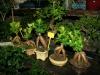 bonsaje-tropic-hukvaldy-1