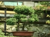 bonsaje-tropic-hukvaldy-10
