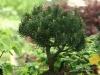 bonsaje-tropic-hukvaldy-15