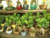 bonsaje-tropic-hukvaldy-21