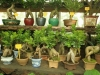 bonsaje-tropic-hukvaldy-22