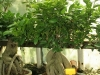 bonsaje-tropic-hukvaldy-23