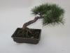 bonsaje-tropic-hukvaldy-24