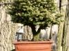 bonsaje-tropic-hukvaldy-4