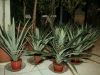 ananasovnik