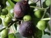 fiovnik-plody