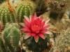 kaktus-hukvaldy