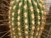kaktus-ostny