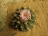 kaktusy-na-hukvaldech