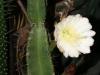 kvet-kaktusu-2