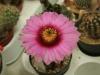 kvet-kaktusu