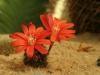 kvety-kaktusu