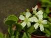 kvet-dionea