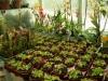 masozrave-rostliny-prodej