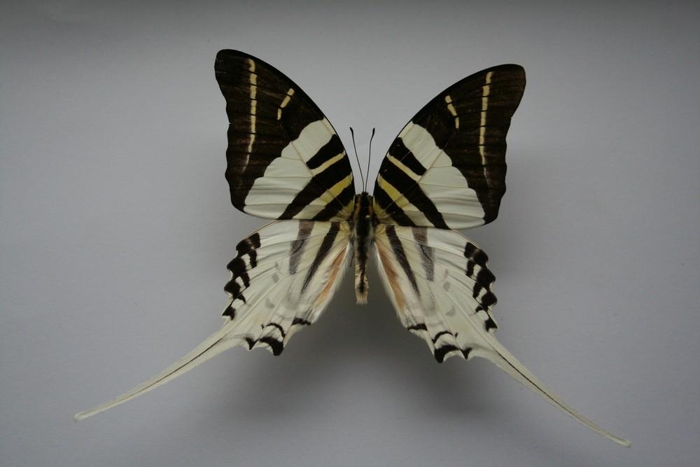 motyli-091