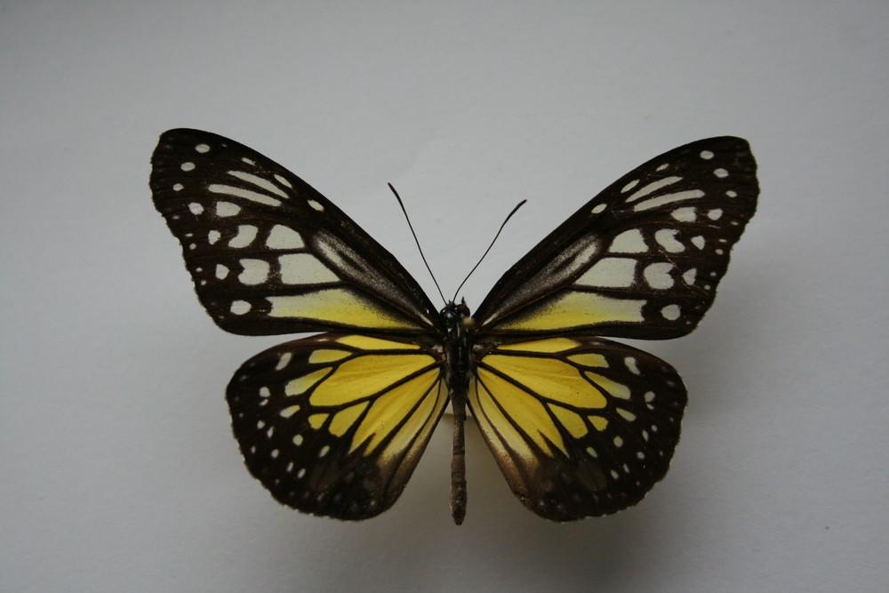motyli-106