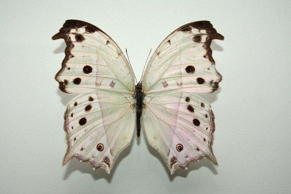 motyli-130