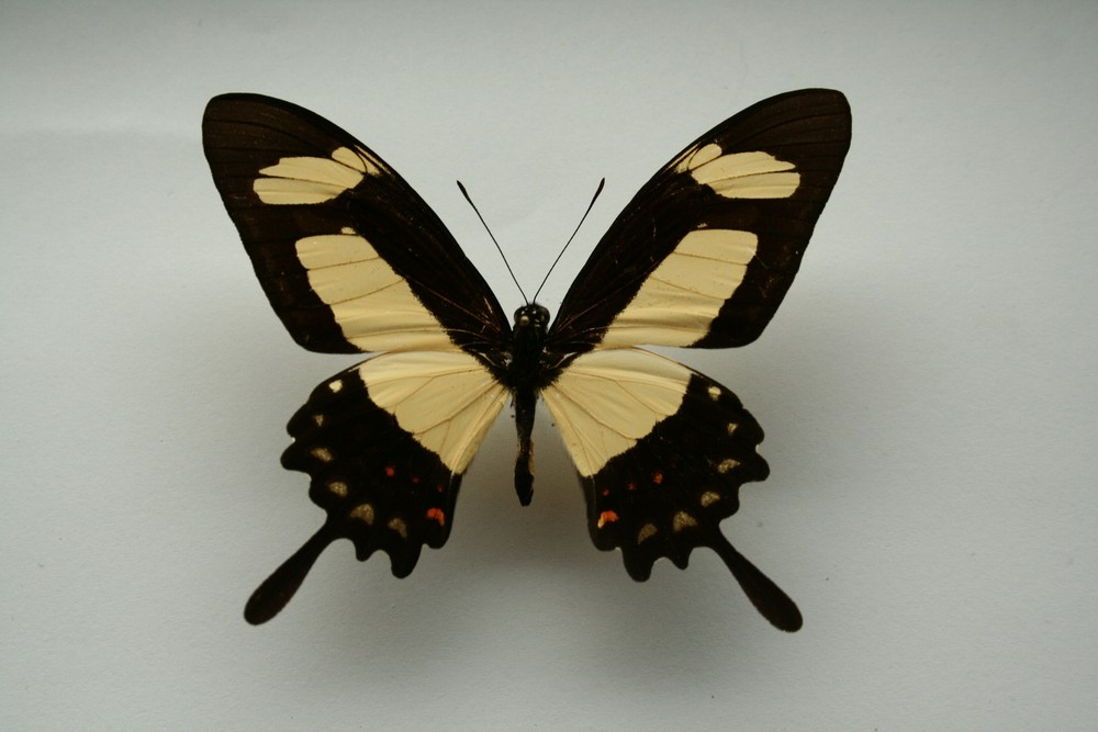 motyli-145