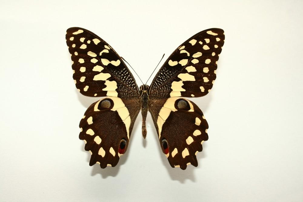 motyli-296