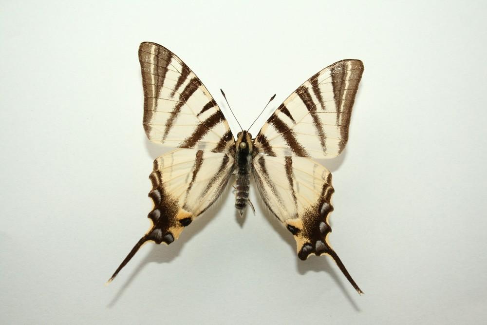 motyli-322