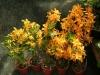 orchideje-12