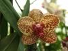 orchideje-13