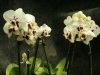 orchideje-20