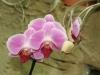 orchideje-27