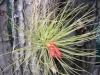 hukvaldy-tropic-tilandsie