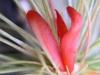 kvet-tillandsie