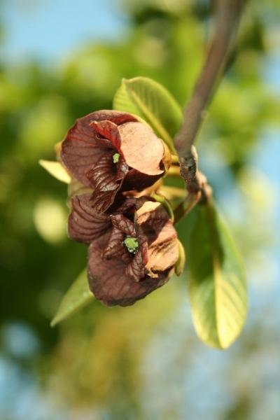 asimina-kvet
