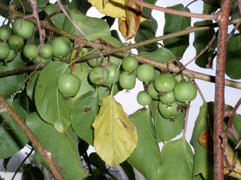 mrazuvzdorne-kiwi