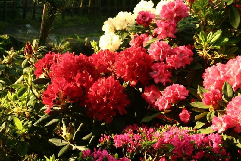 rododendron-hukvaldy