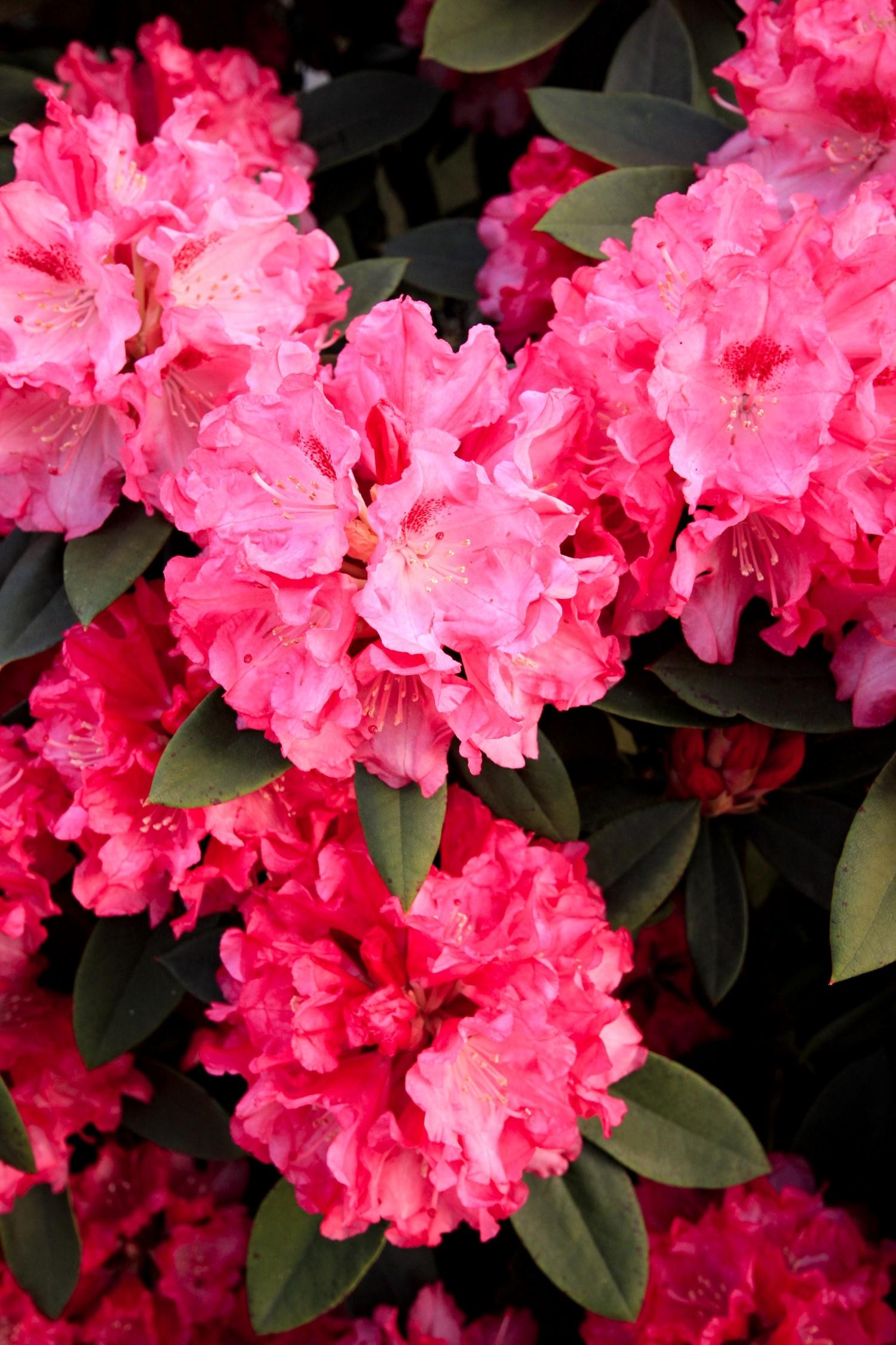 rododendrony-hukvaldy-tropic.jpg