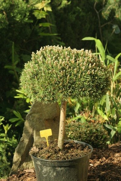 zakrsla-borovice