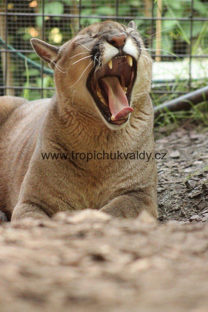 Puma Americká Chov