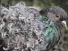 holub-kudrnac