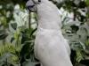 papousek-kakadu