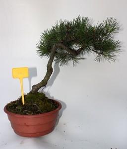 bonsa2