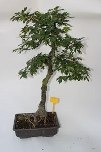 bonsa6