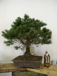 bonsajvenkovni